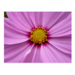 Pink Cosmos Pretty Wildflower Photography Postcard
