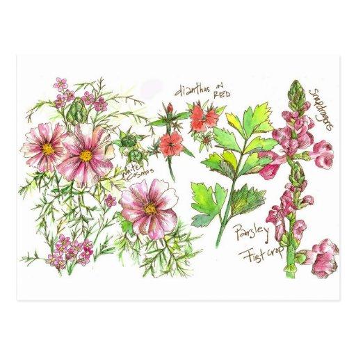 Pink Cosmos Snapdragon Sketch Post Card