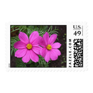 Pink Cosmos Summer time flower in bloom Stamp