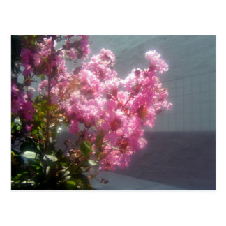 Pink Crape-myrtle flowers blossoming on a sunny da Postcard