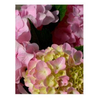 pink  cream hydrangeas postcard