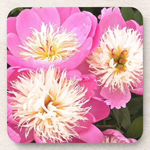 Pink & cream Peony flowers in bloom Drink Coaster