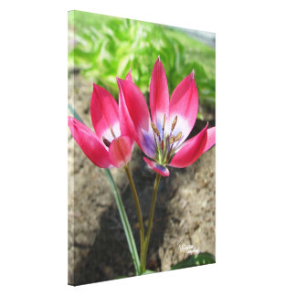 Pink Crocus flowers Stretched Canvas Print