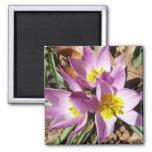 Pink Crocuses Early Spring Floral Magnet