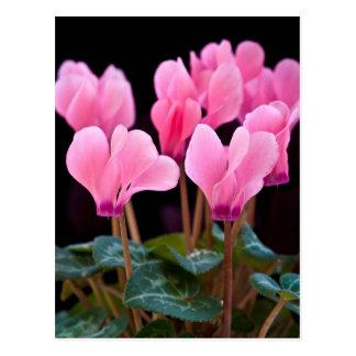 Pink Cyclamen Postcard