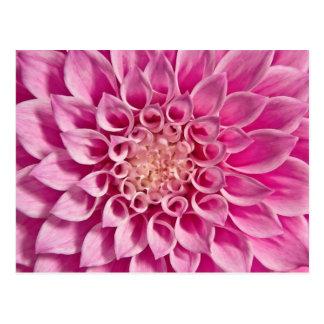 Pink Dahlia Close Up Postcard