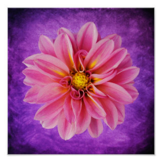 Pink Dahlia Flower on Purple Watercolor Background Poster