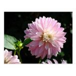 Pink Dahlia Flower post cards Summer Floral