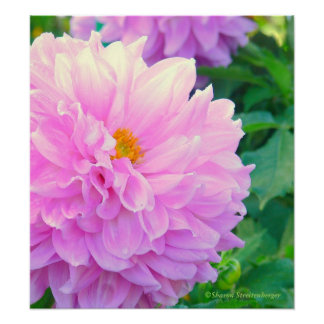 PINK DAHLIA WITH GOLD CENTER AND RAINDROPS POSTER