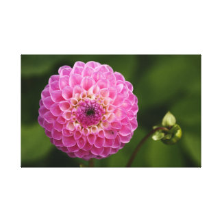 Pink Dahlia Wrapped Canvas Canvas Print