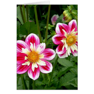 """Pink Dahlias...double trouble"" Card"