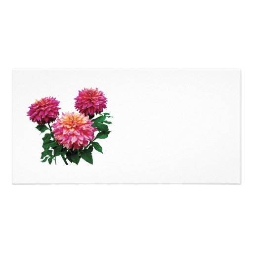 Pink Dahlias, Kidd's Climax Photo Card