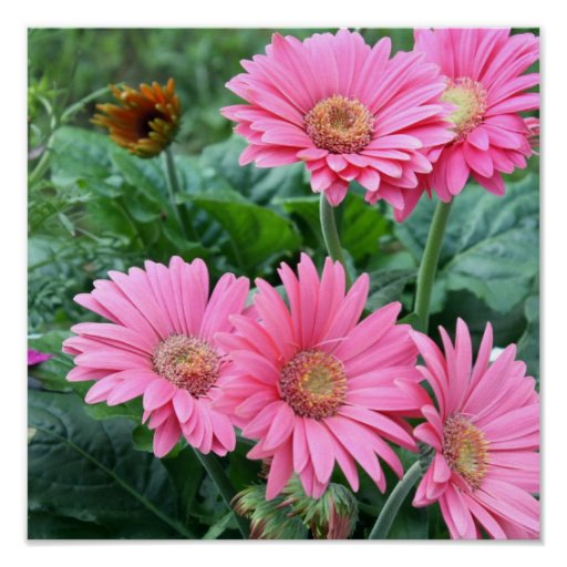 Pink Daisies Print