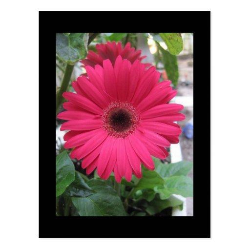 Pink Daisy Postcard