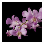 Pink Dendrobium Orchid Flower on Black - Orchids Print