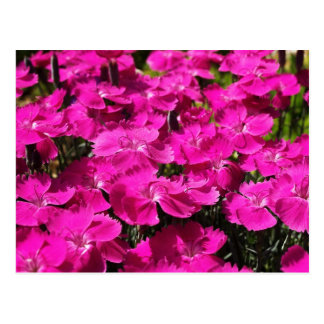 Pink Dianthus Flowers Postcard