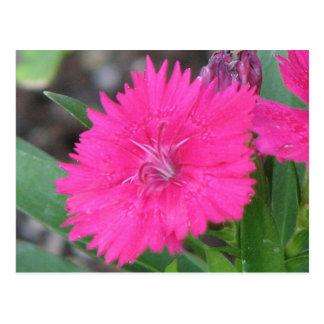 Pink Dianthus Postcard