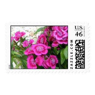 Pink Dianthus/Sweet William Postage Stamp