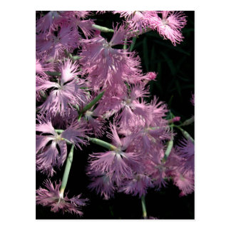 Pink Dianthus Tom Wurl Postcard