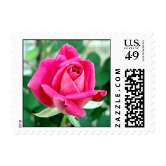 Pink Double Knockout Rose Postage