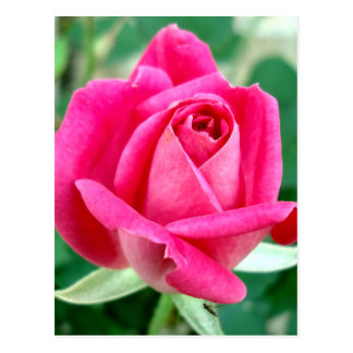 Pink Double Knockout Rose Postcard