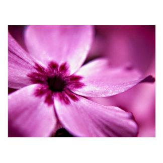 Pink Dwarf Phlox flower art postcard