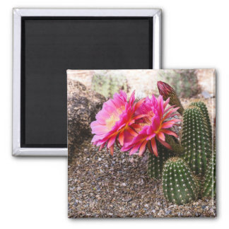 Pink Echinopsis Cactus in Bloom - Square Magnet