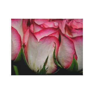 Pink Edged White Roses Canvas Print