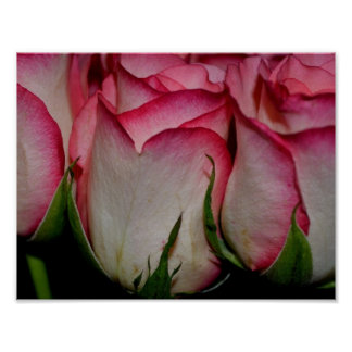 Pink Edged White Roses Poster