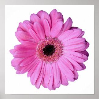 Pink Elegant Gerbera Daisy Poster