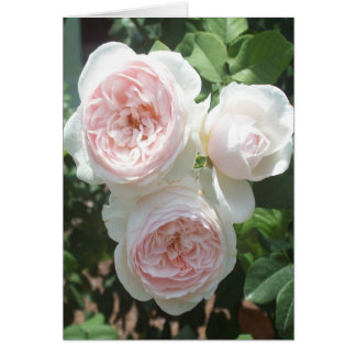 Pink English Roses Blank Note Card
