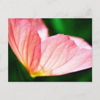 Pink Evening Primrose postcard