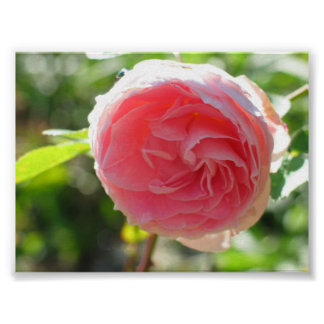 Pink Fairy Rose Posters