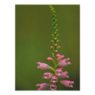 Pink False Dragonhead Flower Poster