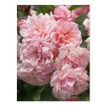 Pink Felicia Roses Postcard