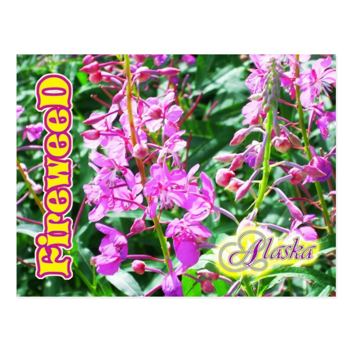 Pink Fireweed flowers in Alaska Postcard
