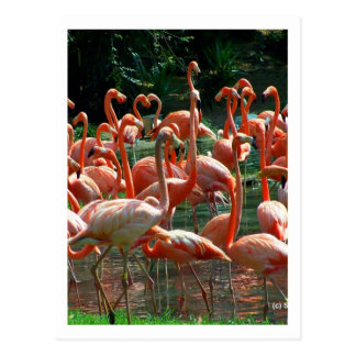 Pink Flamingo group, lots of flamingoes picture! Postcard