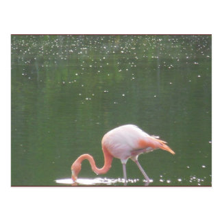 Pink Flamingo on Water Postcard