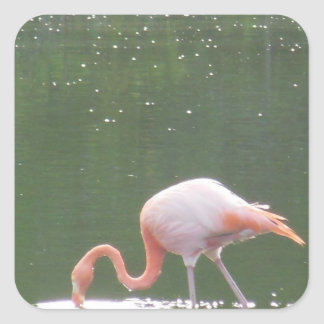 Pink Flamingo on Water Square Sticker