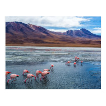 Pink Flamingoes in Bolivia Postcard