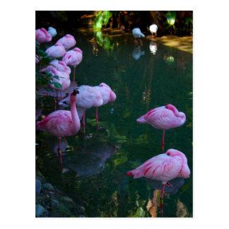 Pink Flamingoes Photo Postcard