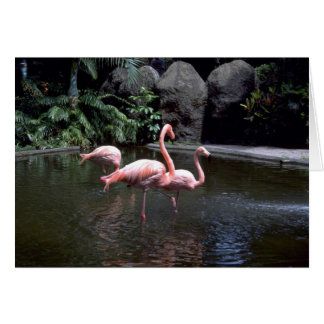 Pink flamingos in pond, St. Petersburg, Florida, U Card