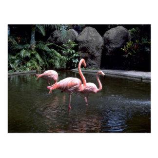 Pink flamingos in pond, St. Petersburg, Florida, U Postcard