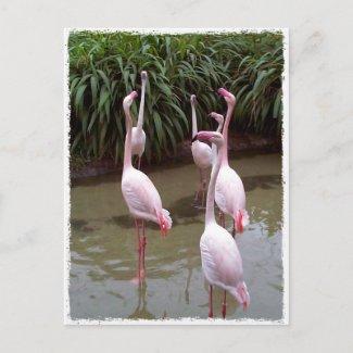 Pink Flamingos zazzle_postcard