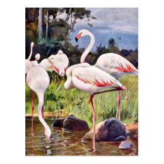 Pink Flamingos Vintage Illustration Postcard