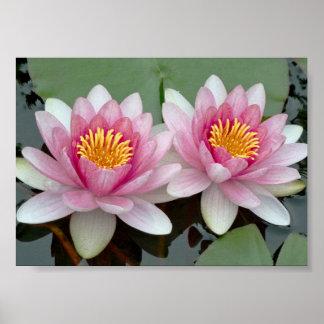 Pink Floating Waterlily Lotus Poster
