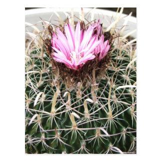 Pink Flower Barrel Cactus Postcard