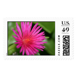 Pink Flower of Succulent Carpet Weed Postage