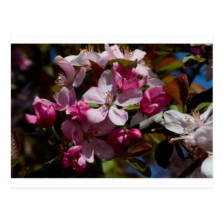 Pink Flowering Crabapple Blooms Postcard