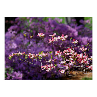 Pink Flowering Dogwood and Purple Azaleas Posters